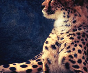 animal, cheetah, and wild image
