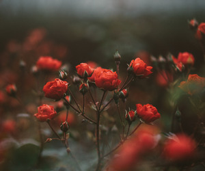 red, roses, and flowers image