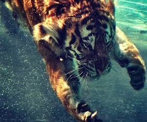 tiger, animal, and water image