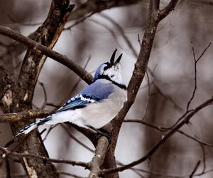 bird, bluejay, and nature image