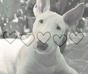 bull terrier, dog, and beautiful image