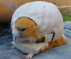 funny, animal, and guinea pig image