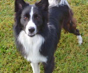 border collie, dog, and bordercollie image