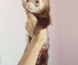 animal, ferret, and cute image
