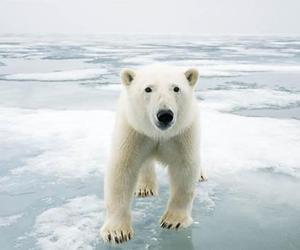 Polar Bear, white, and animal image
