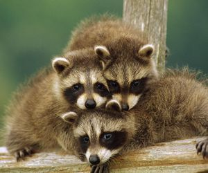 funny, raccoon, and cute image