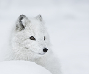 snow, winter, and fox image