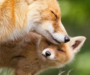 animals, fox, and red image
