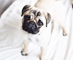 cute and pug image