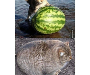 cat, fat, and funny image