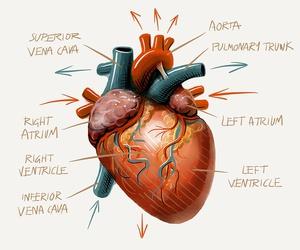 anatomy, heart, and medicine image