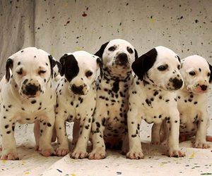 puppy, animals, and dalmatian image