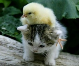 cat and Chick image