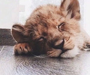 animals, baby lion, and sleeping image