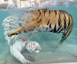water, tiger, and animal image