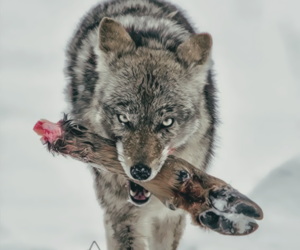 coyote, hunter, and snow image