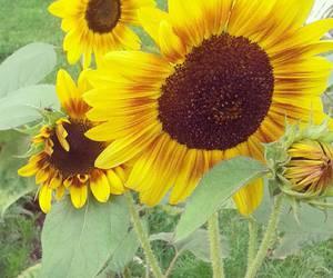 flower, sun, and sunflower image