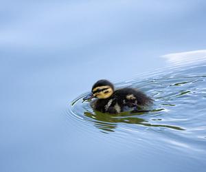 bird, goot!, and duckling image