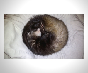 ferret, sleep, and lovelove image