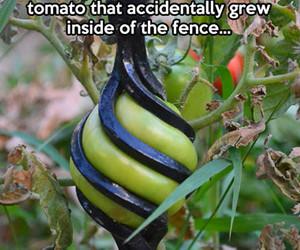 tomato and nature image