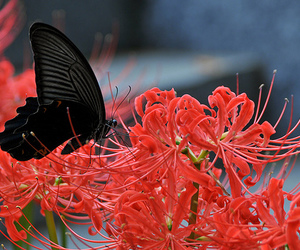 red, butterfly, and flower image