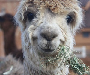 animal, cute, and llama image