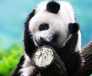 animals, perfect, and panda image