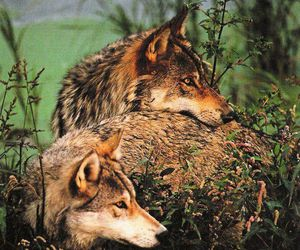 animals, wolves, and beautiful image
