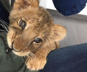 baby lion, blue eyes, and eyes image