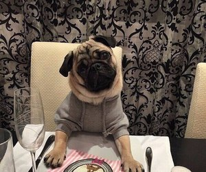pug, cute, and animal image