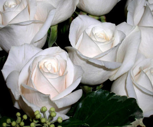 rose pictures, roses pictures, and picture of roses image