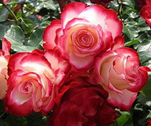 rose pictures, pictures of roses, and roses pictures image