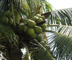 coconut, fruit, and palm trees image