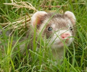 ferret, fuzzy, and grass image