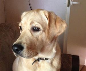 dog, gorgeous, and labrador image