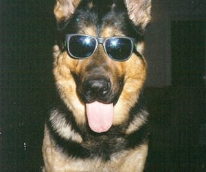 cool, sunglass, and dog image