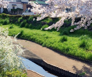 cherry blossoms, japan, and pink image