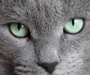 cat and korat image