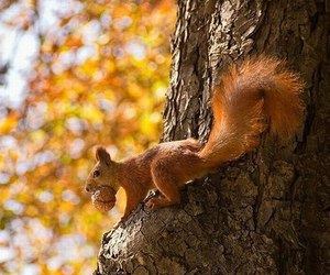 autumn, animal, and squirrel image