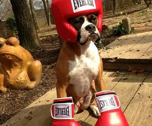 dog, funny, and boxer image