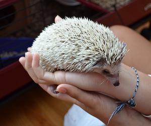 photography, animal, and hedgehog image