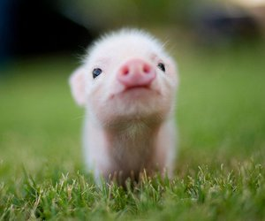 baby, pig, and piglet image