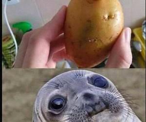 funny, potato, and seal image