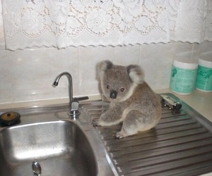 Koala, cute, and animal image