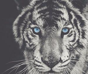 animal, tiger, and b&w image