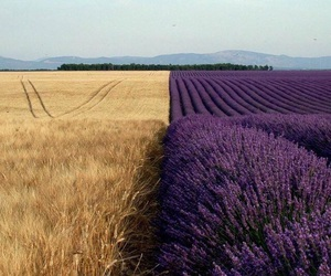 nature, lavender, and flowers image