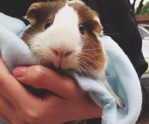 animal, guinea pig, and cute image