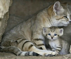 kittens, sand cat, and zoo image
