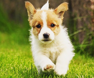 dog, jack russell, and puppy image