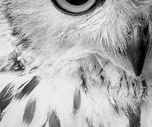 black and white, owl, and gorgeous image
